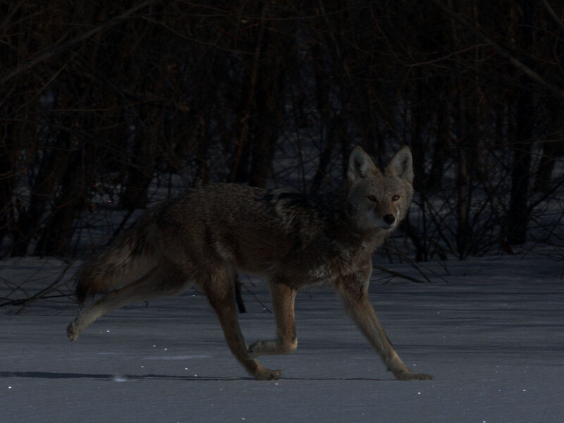 Coyote Hunting at Night: Best Tips that Will Give You the Advantage